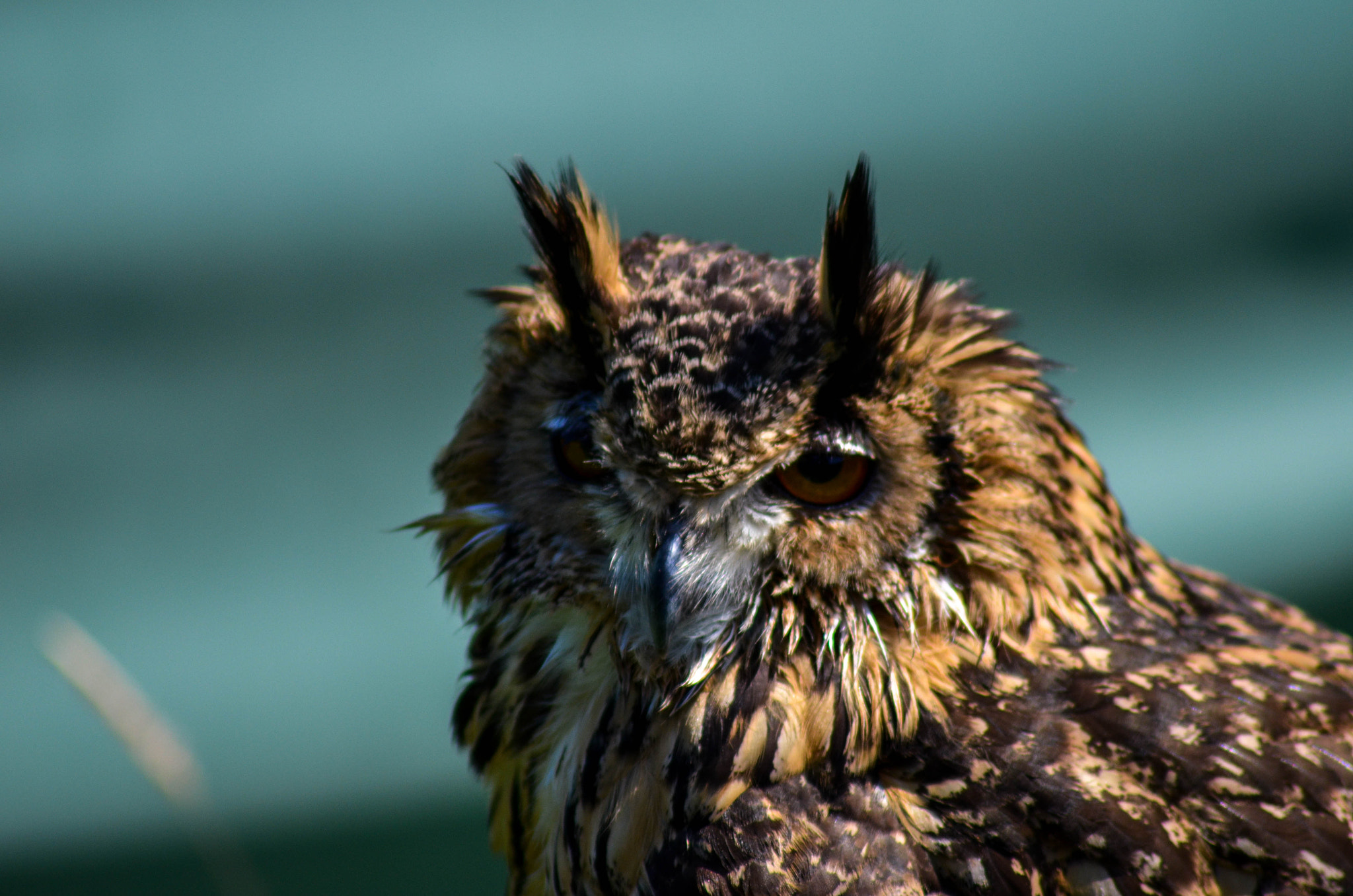 Photograph Bengal eagle Owl by julian john on 500px