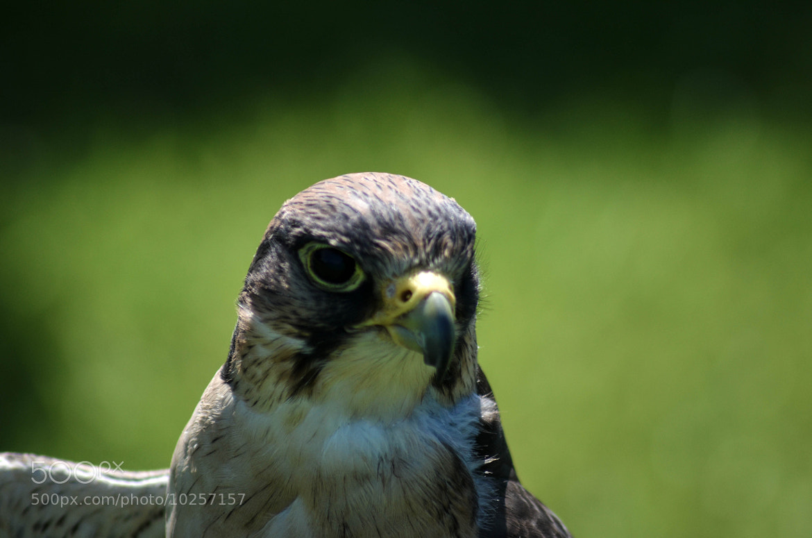 Photograph Lanner Falcon by julian john on 500px