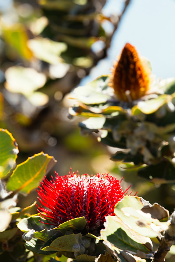 Scalet Banksia by Paul Amyes on 500px.com