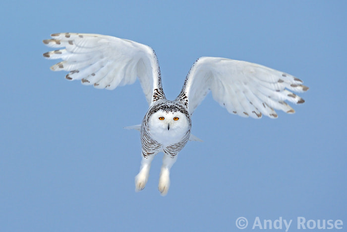 Photograph Snowy Owl hunting by Andy Rouse on 500px