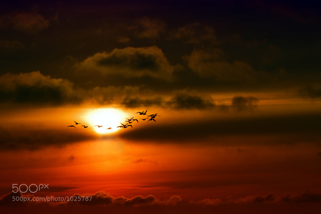 Photograph Geese migration by Kees Smans on 500px
