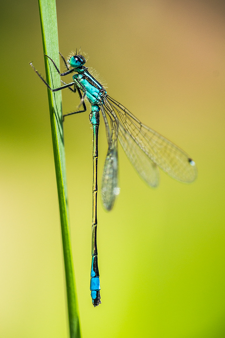Photograph Enallagma Cyathigerum by Andy Butler on 500px