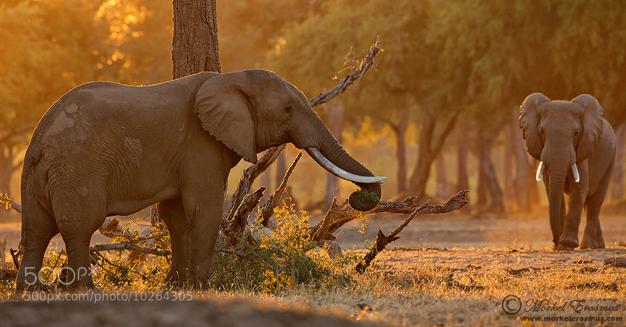 Photograph Golden Elephants by Morkel Erasmus on 500px