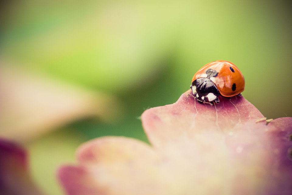 Photograph Ladybug02 by Rafał Makieła on 500px