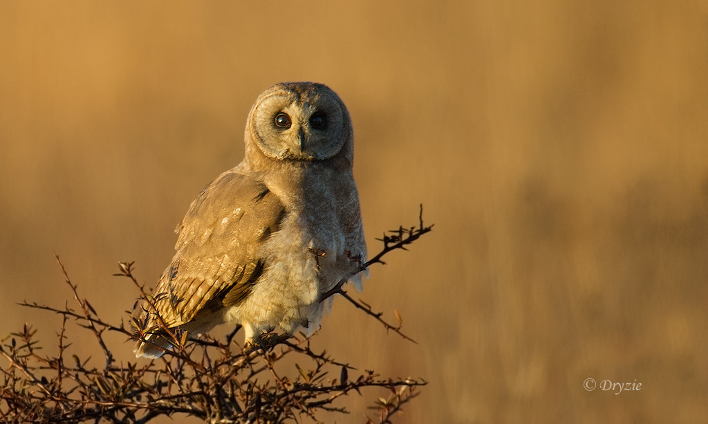 Photograph Marsh Owl by Mark Drysdale on 500px