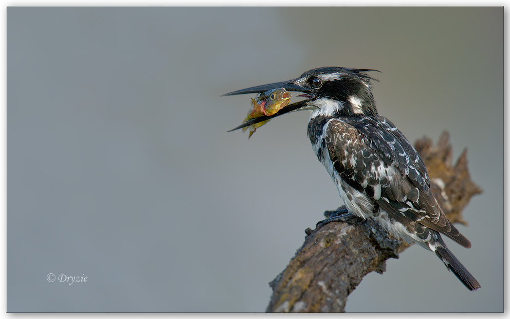 Photograph Pied Kingfisher by Mark Drysdale on 500px