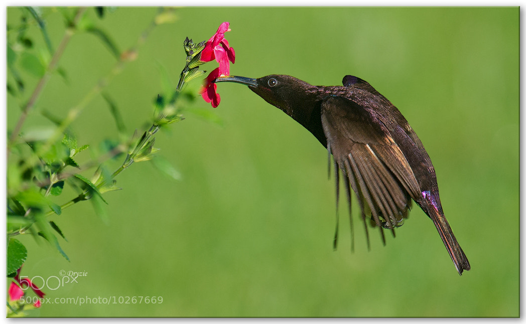 Photograph Amethyst Sunbird Male by Mark Drysdale on 500px