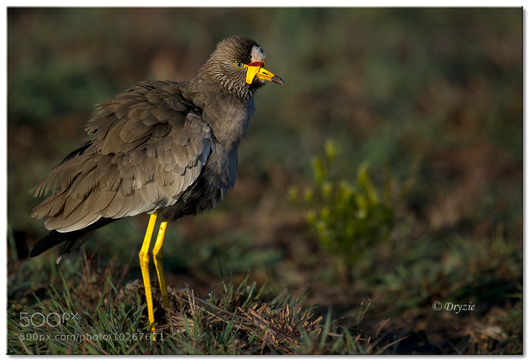 Photograph African Wattled Lapwing by Mark Drysdale on 500px