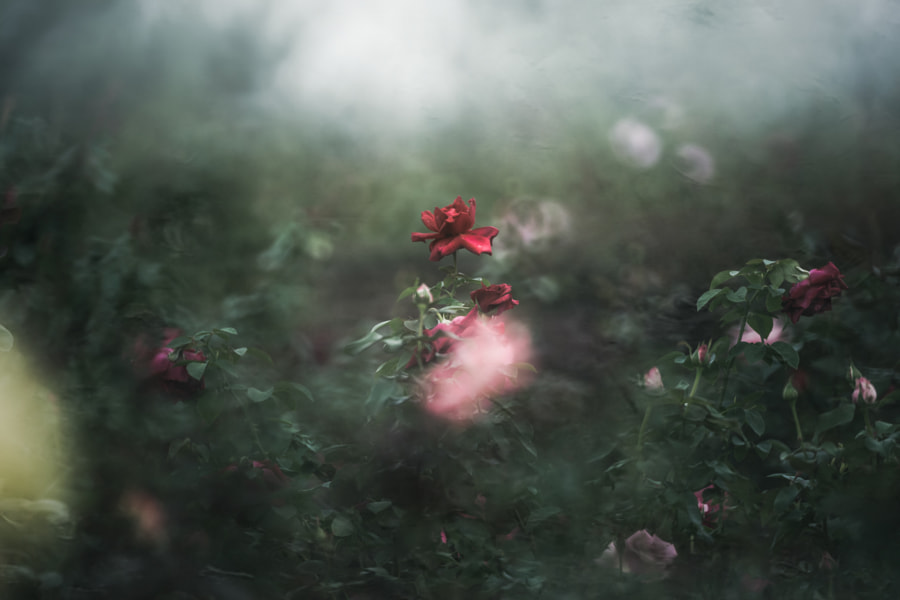 wine red by kazumi n on 500px.com
