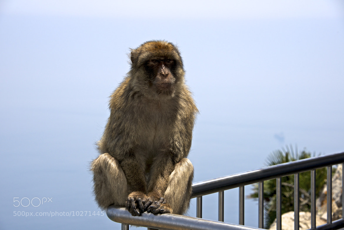 Photograph Barbary Monkey by Dain Blair on 500px