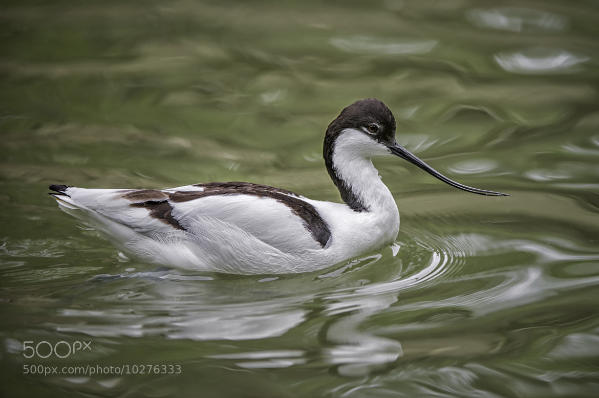 Photograph Avocet by Daniel Parent on 500px