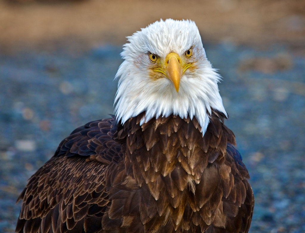 Photograph Eagle Portrait  by Buck Shreck on 500px