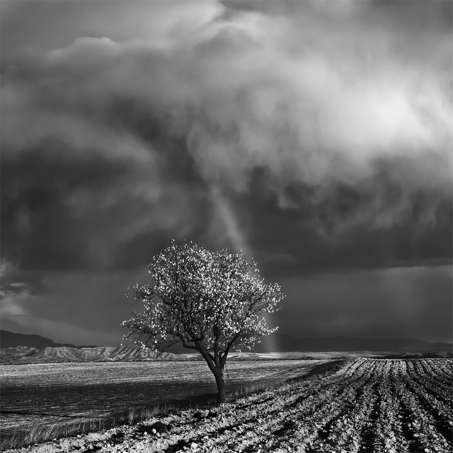 Photograph One Almond Tree Under the Storm by David Frutos Egea on 500px
