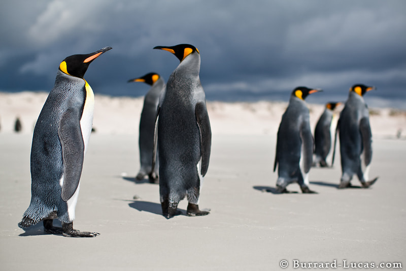 A group of king penguins on a beach in the Falkland Islands.