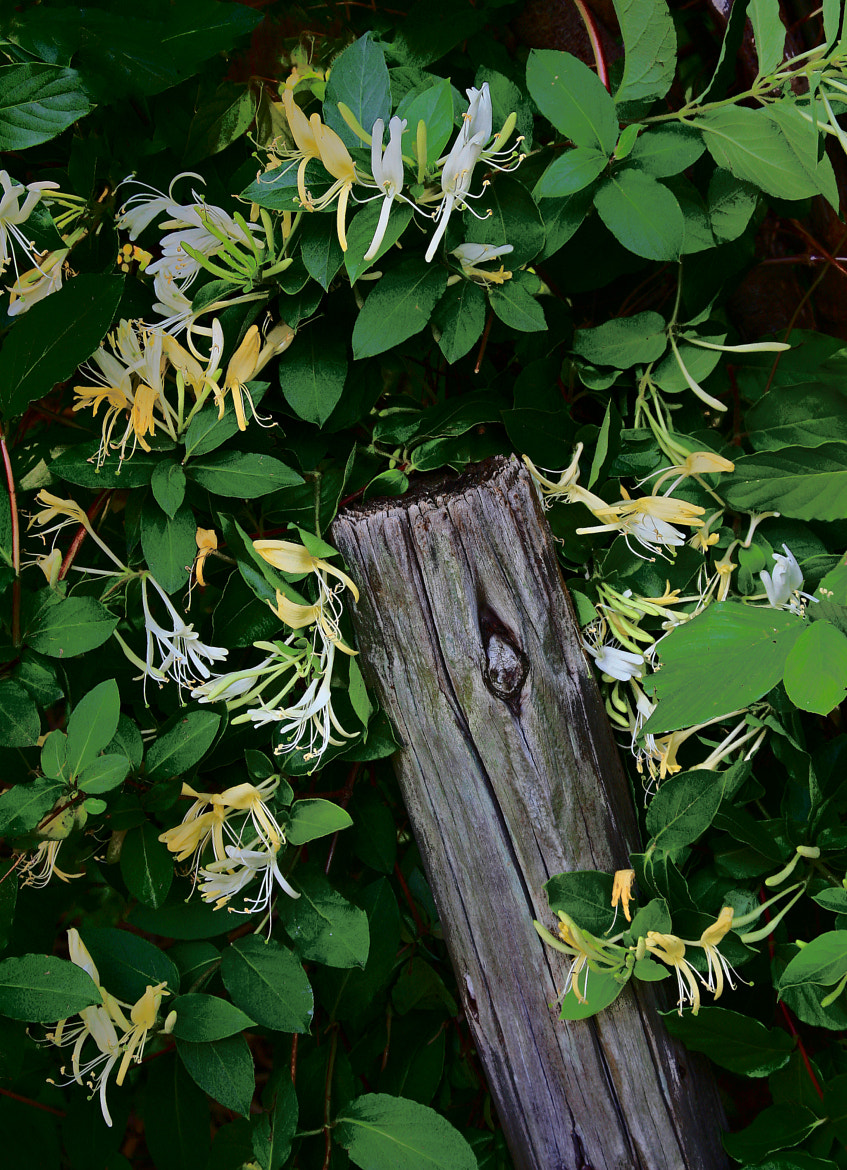 Photograph Honeysuckle Post by Jerry Bain on 500px