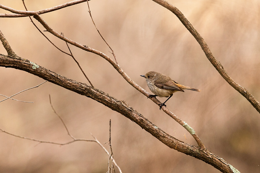 Inland Thornbill by Paul Amyes on 500px.com