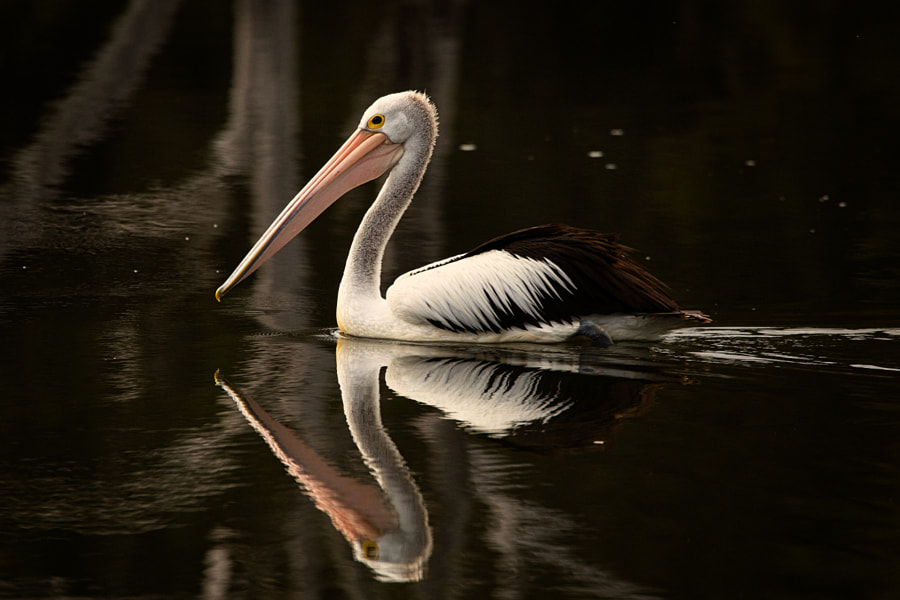 Australian Pelican by Paul Amyes on 500px.com