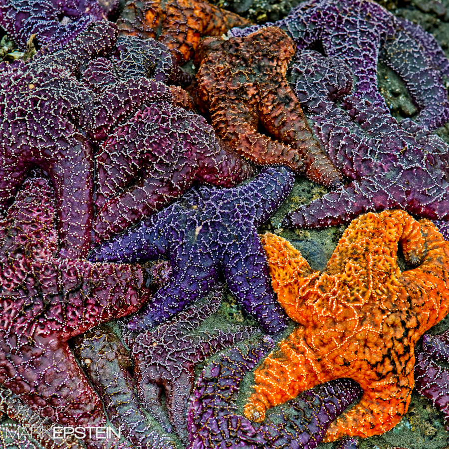Photograph Sea Stars by Mark Epstein on 500px