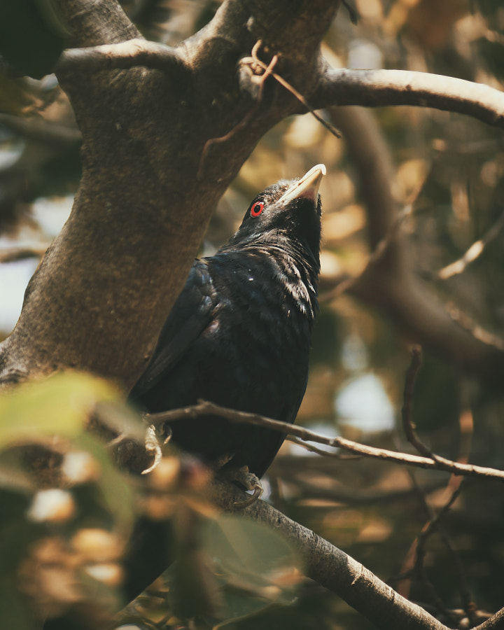 asian koel by naga sumanth on 500px.com