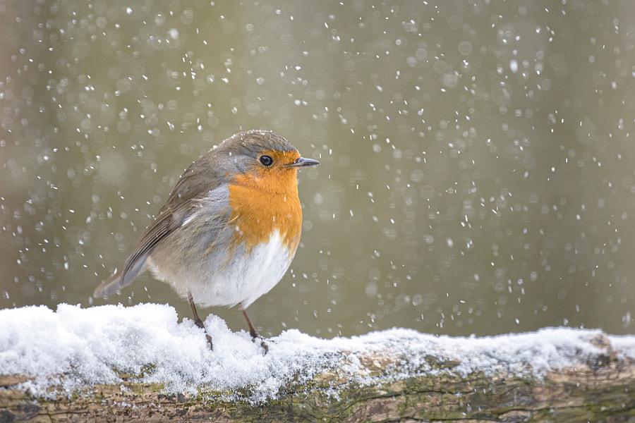 Snow robin by Teuni Stevense on 500px.com