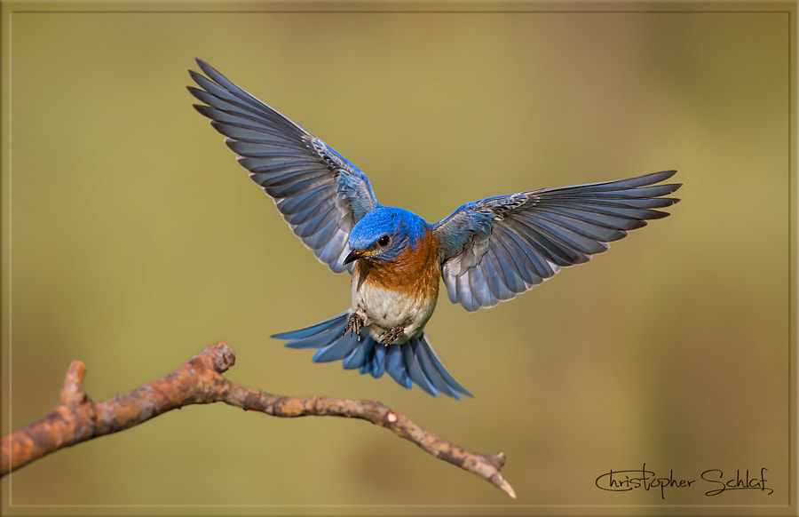 Bluebird Landing  by Christopher Schlaf  on 500px.com