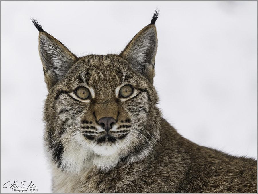 young Lynx in portrait. by Hermann-Josef Telaar on 500px.com