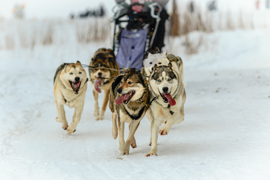 It's a nice cold day for dog sled racing by Claus Cramer on 500px.com