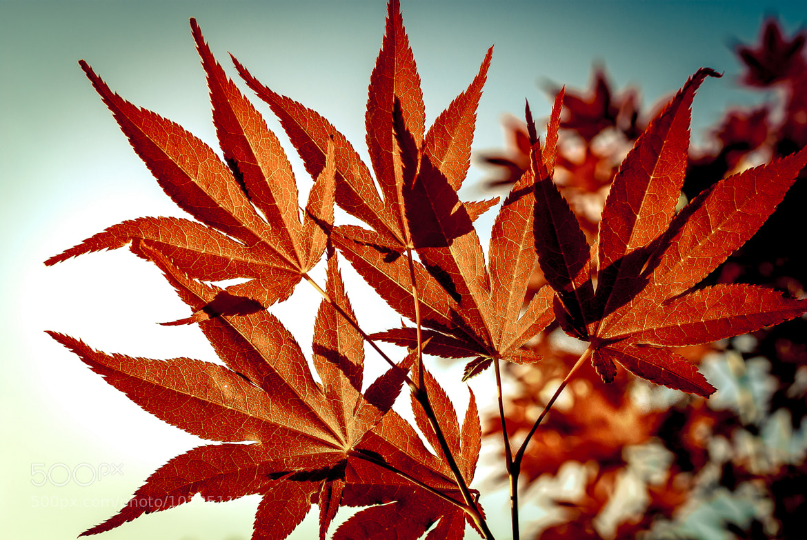 Photograph Momiji [1] by S. S. on 500px