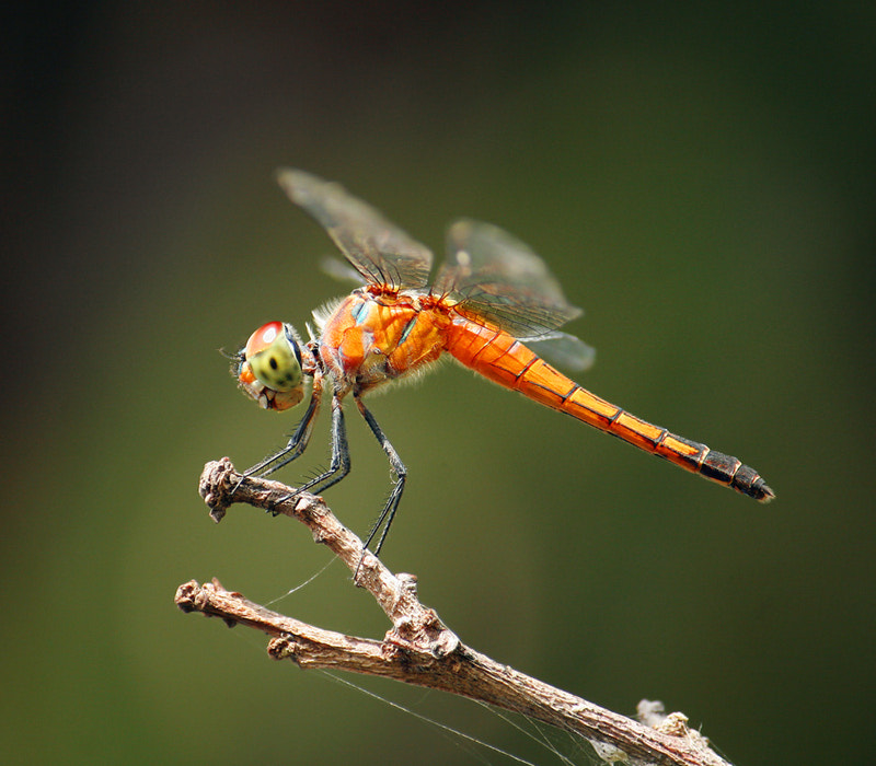 Photograph Thai dragonfly by Prachit Punyapor on 500px