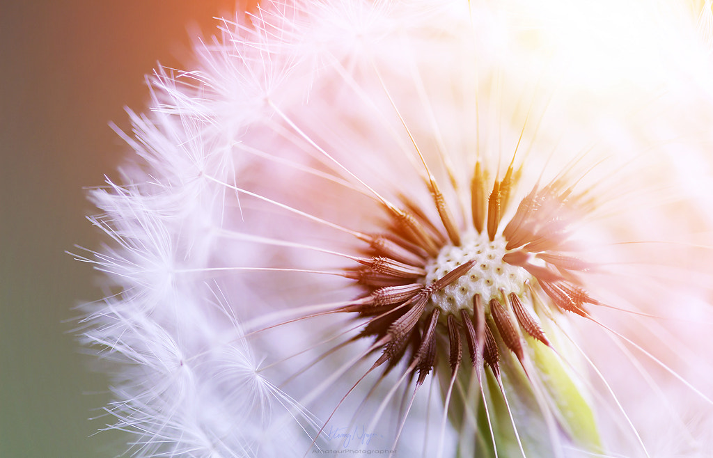 Photograph I don't want to leave - Dandelion by Hoàng Nguyễn on 500px
