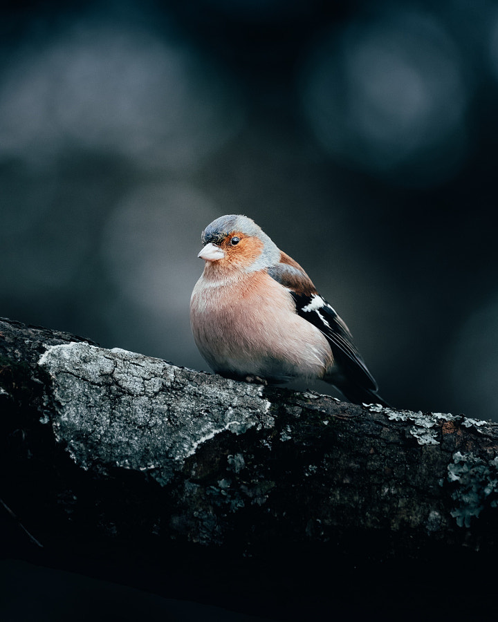 Chadfinch  by Paul Boomsma on 500px.com