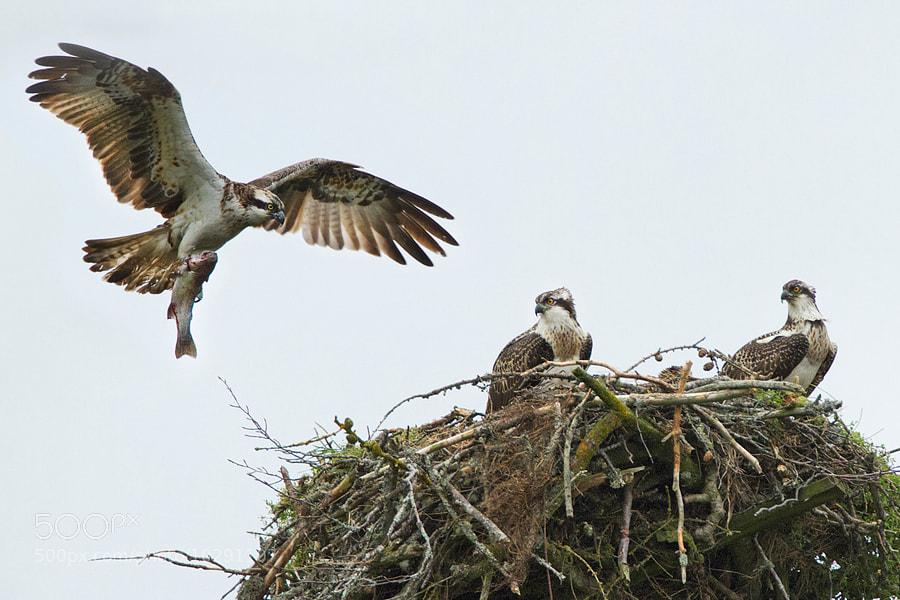 Photograph Osprey's family by Alessandro Terzi on 500px