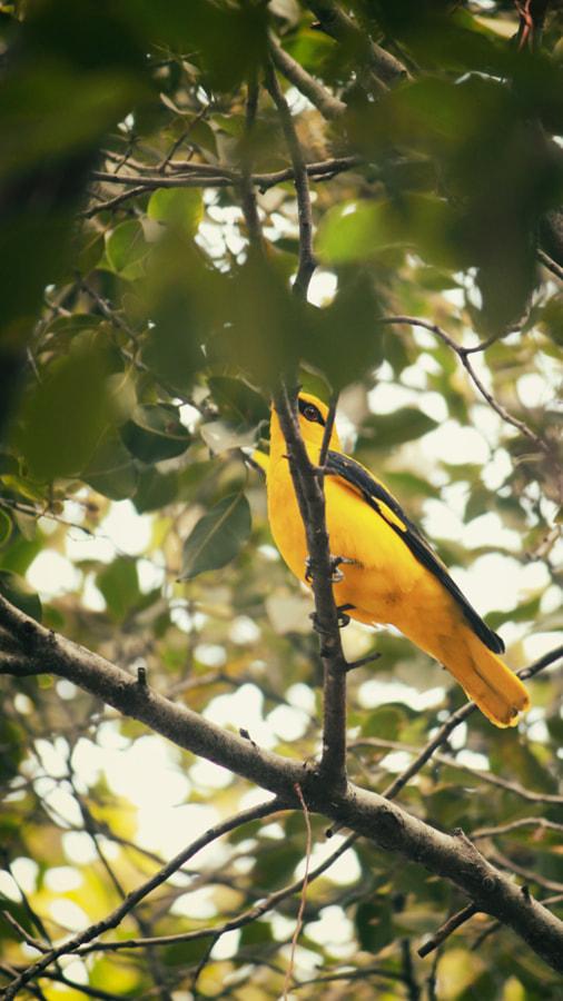 yellow bird  by naga sumanth on 500px.com