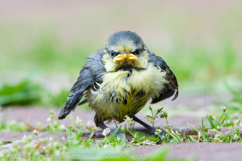 Photograph Angry Bird by Kees-Jan van Overbeeke on 500px