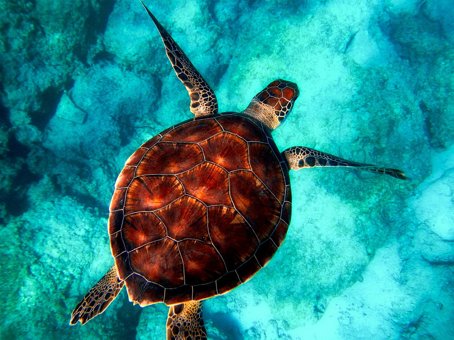 Sea turtle by Thành Hi?u Lê on 500px.com