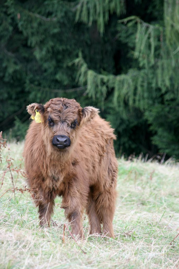 Photograph Scottish Highland Cattle by Klaus Stranacher on 500px