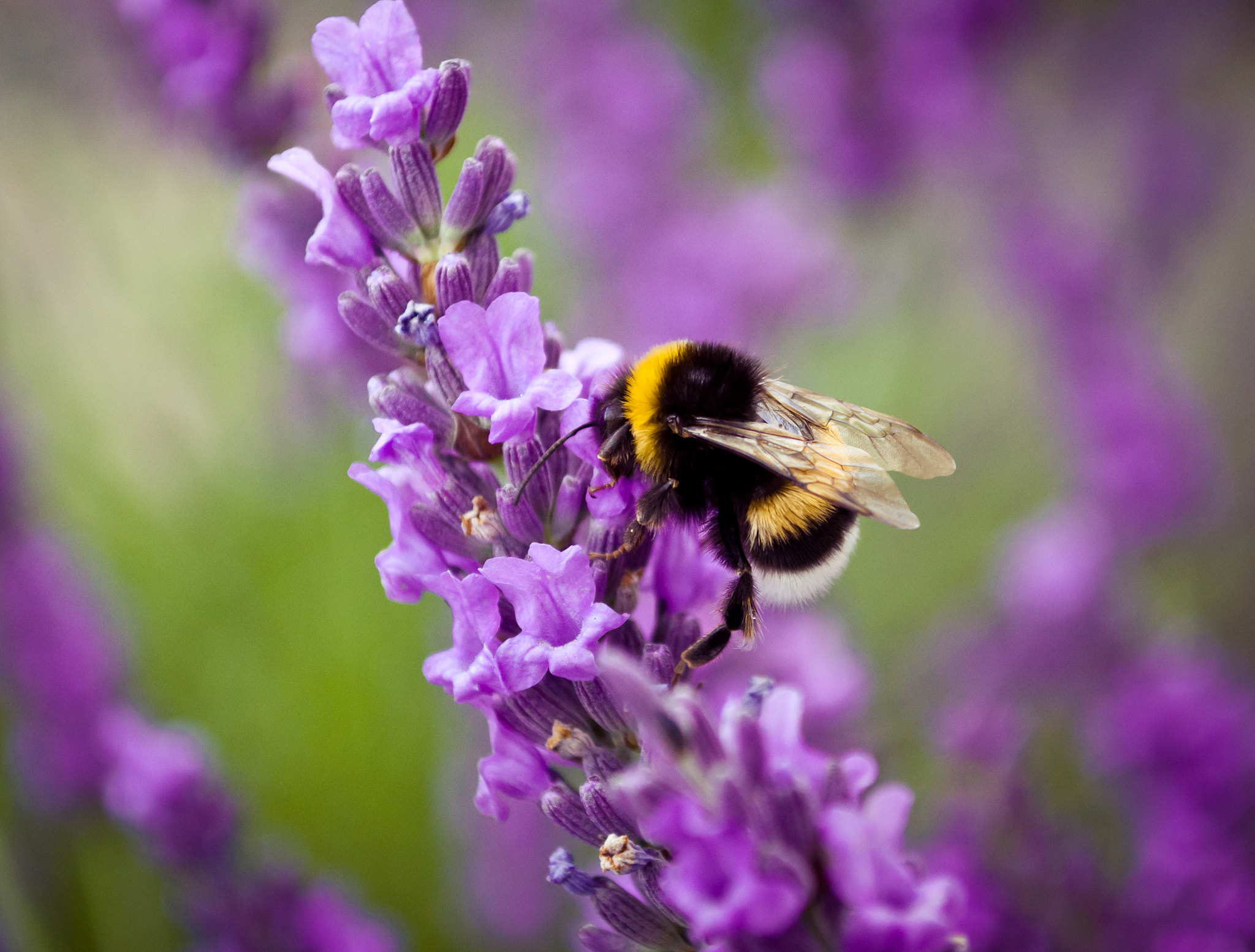 Photograph Lavender & humble-bee by Glafira Kushnir on 500px