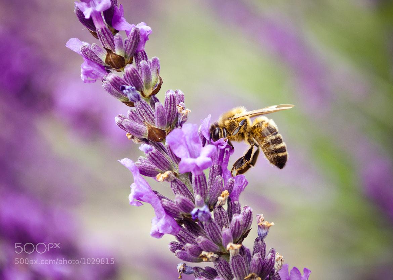 Photograph Lavender & bee by Glafira Kushnir on 500px