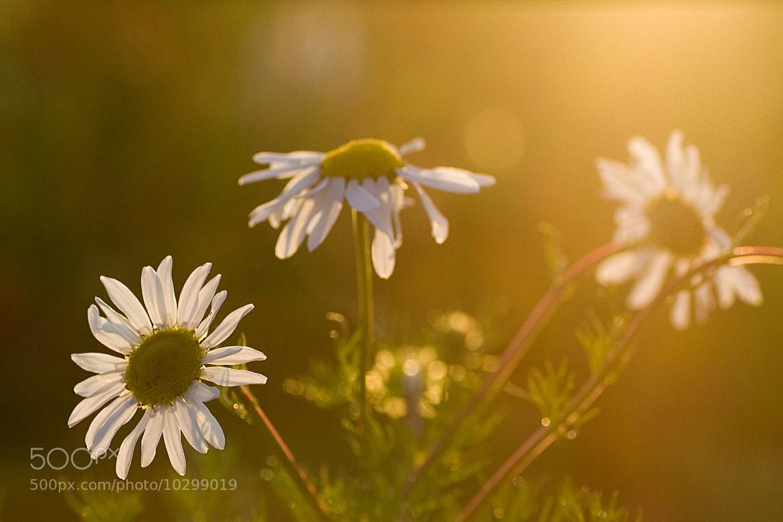 Photograph Sunset Daisies by Jonathan Clark on 500px