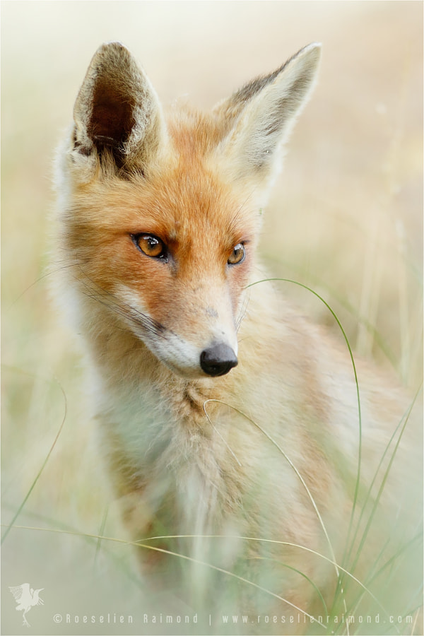 That Foxy Face by Roeselien Raimond on 500px.com