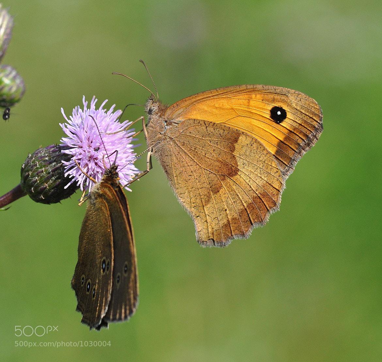 Photograph Meadow Brown (Maniola jurtina)  by Horia Scubli on 500px