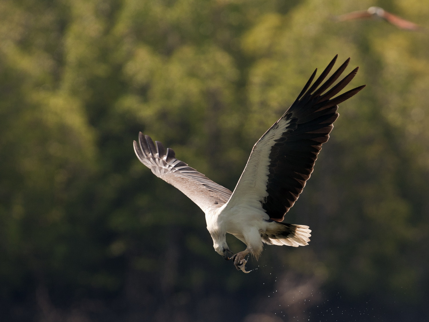 Photograph White Bellied Sea Eagle by SIJANTO NATURE on 500px