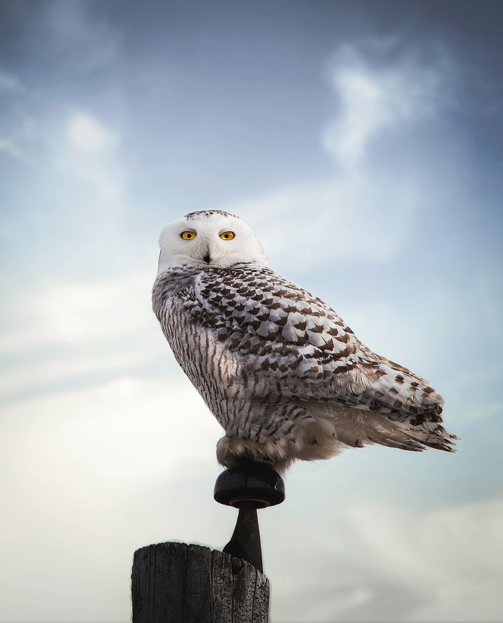 Snowy Owl With the High Ground by Seth Macey on 500px.com