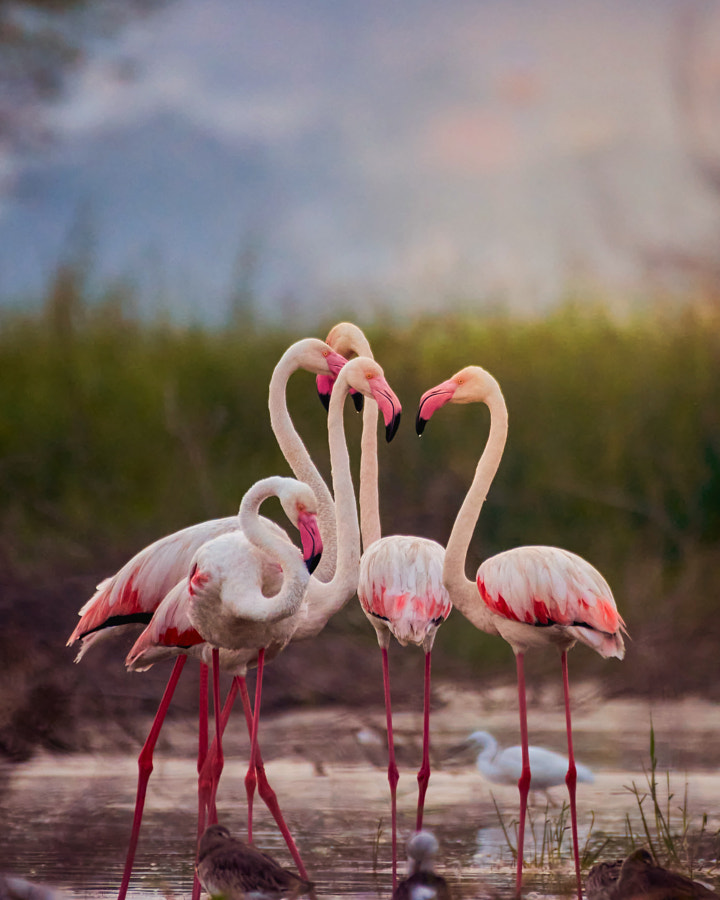 A Flamboyance of Flamingos by Chaitanya Peteti on 500px.com
