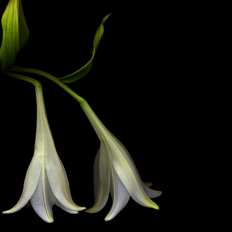 Photograph THE HESITATION of the White Lilies... by Magda Indigo on 500px