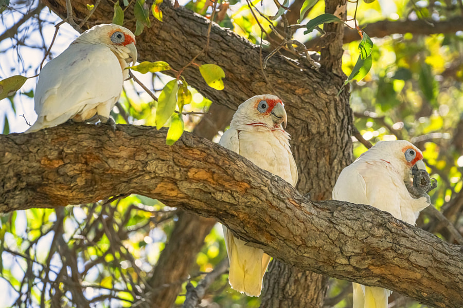 Three Wise Corellas by Paul Amyes on 500px.com
