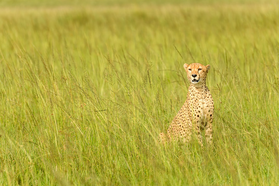 A Majestic Cheetah In Savanna by Wild Tales Images on 500px.com