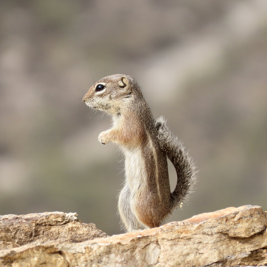 Squirrel by JessicaWindes on 500px.com