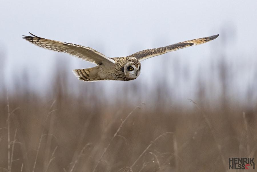 Short Eared Owl by Henrik Nilsson on 500px.com