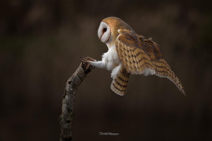 Kees the barn owl by Roelie Steinmann on 500px.com